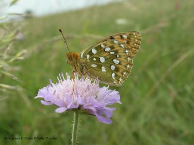 Dark-green Fritillary © Kelly Thomas
