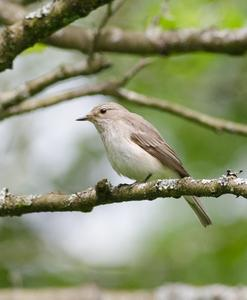 Spottted Flycatcher © Mark Hipkin